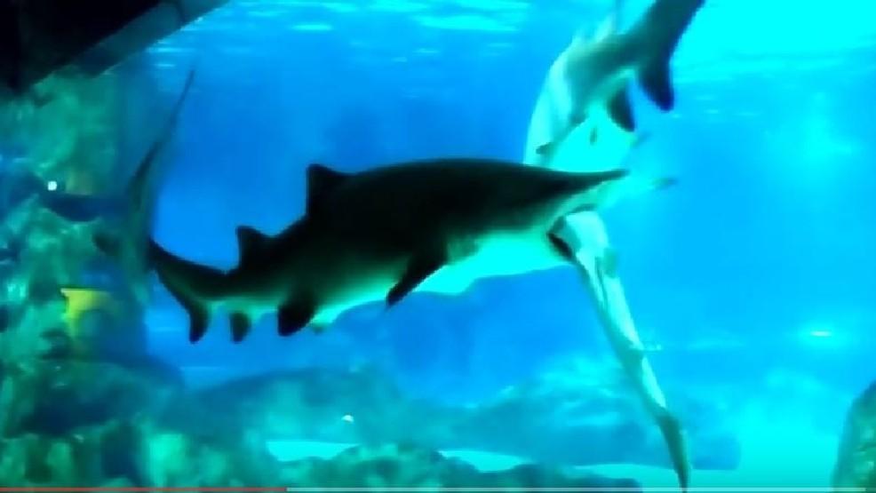 VIDEO: Shark eats shark in aquarium attack   WPEC